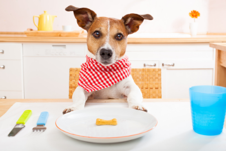 terrier dog at the table with a plate and dog bone