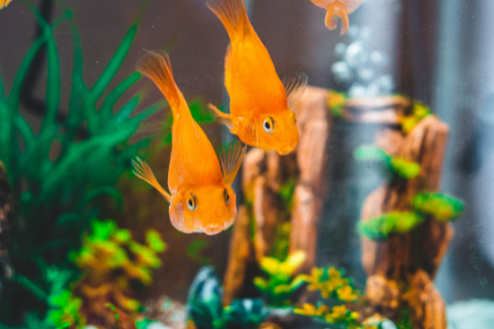 Two gold fish swimming in their tank.