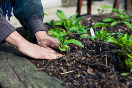 A person planting several seedlings of the same plant in the small garden.
